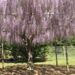 asikagaflower
