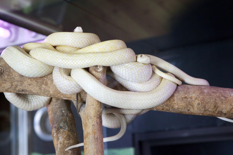 シロヘビ観覧施設 白蛇資料館