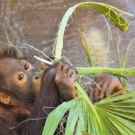 orangutan-3819400_960_720