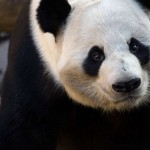 panda_yangyang_ZA_0086-b-750x500