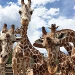 safaritrailgiraffes-1440x960