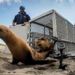 Sea-Lion-Beach-Release_650x410