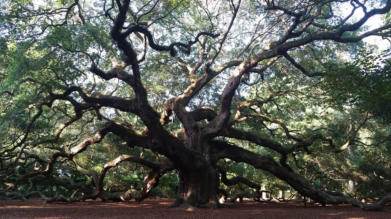 Angel Oak Tree(エンジェル・オーク・ツリー)